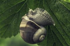 Big snail in the garden on green leaf stock photo