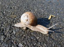 Big snail going over small one Stock Photo