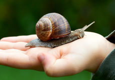 Big snail on a hand Royalty Free Stock Image