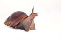 Big snail look forward  on white Stock Photo