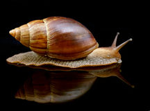 Big snail move forward with mirror Stock Photos