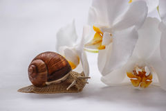 Big snail and orchids on white background. Large brown snail and orchids on white background Royalty Free Stock Photos