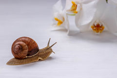 Big snail and orchids on white background. Large brown snail and orchids on white background Stock Photography