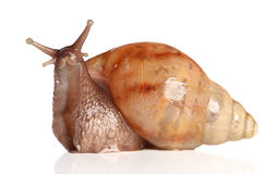 Big snail posing Stock Photography