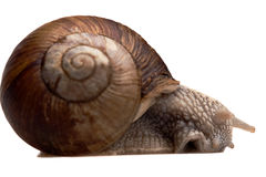 Big snail in profile Royalty Free Stock Images