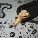 Big snail with rain drops on a black background Stock Photography