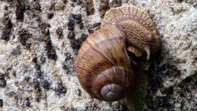 Big Snail on Rock stock video footage