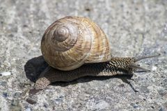 Big snail in shell crawling on road, summer day in garden.  stock photos