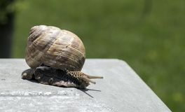 Big snail in shell crawling on road, summer day in garden.  royalty free stock photography