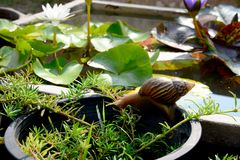 Big Snail slowing move in the garden field stock images
