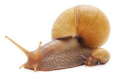Big snail with small snail. Stock Images