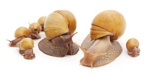Big snail with small snails. Stock Photo
