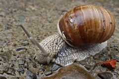 Big snail on wet after the rain stones stock images