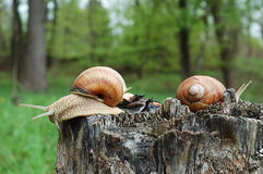 Big snails Stock Image