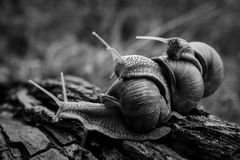 Big snails crawl one on one in the forest. Three big snails crawl one on one in the forest royalty free stock image