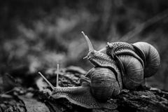Big snails crawl one on one in the forest. Three big snails crawl one on one in the forest royalty free stock photo