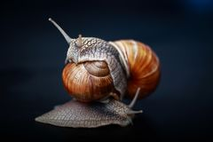 Snails crawling one on one in the studio. Big snails crawling one on one in the studio royalty free stock photography