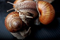 Snails crawling one on one in the studio. Big snails crawling one on one in the studio stock images