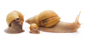 Big snails with small snail. Royalty Free Stock Images