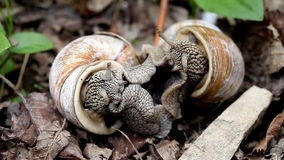 Big snails in the wild. Act of reproduction stock footage