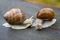 Big snails on wooden table Royalty Free Stock Photo