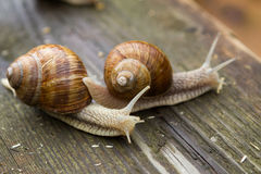 Big snails on wooden table after rain Royalty Free Stock Images