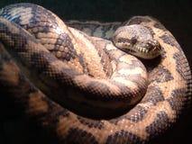 Big Snake. Lying still stock image