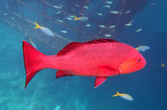 Big Snapper fish Stock Photography