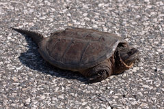 Big snapping turtle. The picture was main in Canada, in the park on the road Royalty Free Stock Photography