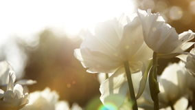 Big snow-white tulips against the sundown, close up stock footage