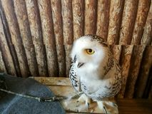 Big Snowy Owl inside the wooden room. Big Snowy Owl inside the wooden room at animal cafe Stock Photo