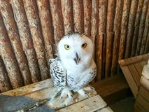 Big Snowy Owl inside the wooden room. Big Snowy Owl inside the wooden room at animal cafe and staring at camera Royalty Free Stock Photography
