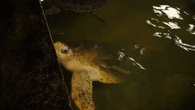 Big soft-shelled turtle swimming in a pool at a turtle hatchery in Sri Lanka. Brown turtles swimming in a pool at a turtle hatchery in Sri Lanka stock video