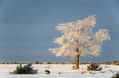 Big solitude elm tree in a winter landscape Royalty Free Stock Image