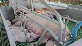 Farrowing pen. Big sow and piglets in farrowing pen at modern farm stock video