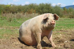 Big sow Royalty Free Stock Images