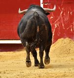 Bull spanish in spectacle. Big spanish bull in spectacle in spain Stock Photography