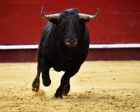 Bull spanish in spectacle. Big spanish bull in spectacle in spain Stock Photo