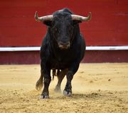 Bull spanish in spectacle. Big spanish bull in spectacle in spain Stock Photos