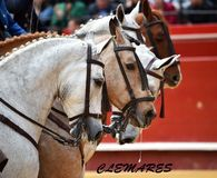 Bull  spanish in spectacle. Big spanish bulll in spectacle in spain Stock Photos