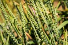 Big spelt - triticum spelta - poaceae Royalty Free Stock Photography