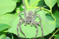 Big spider Royalty Free Stock Photography