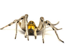 Big spider Stock Image