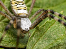 Big Spider With Black Eyes Stock Images