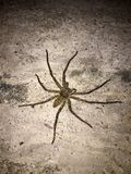 Big spider on the concrete floor at night. it is an eight legged predatory. stock photography