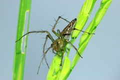 Big spider on flower spikes. Royalty Free Stock Photo