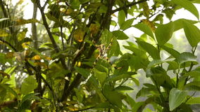 Big spider on a green bush. An arachnid sits in its lair stock video footage