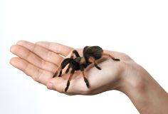 Big spider on  hand Royalty Free Stock Image
