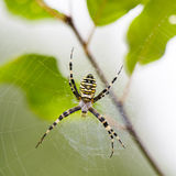 Big spider hanging on its web. In the forest stock image