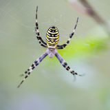 Big spider hanging on its web. In the forest royalty free stock photos